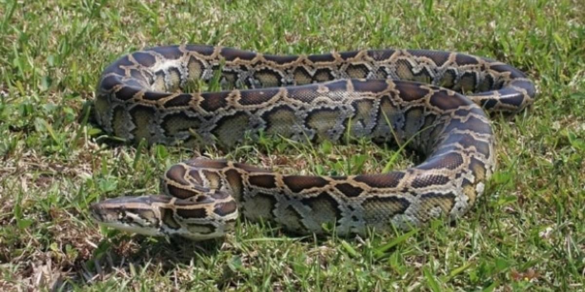 Una pitón de 5 metros de largo fue capturada y asesinada en Florida