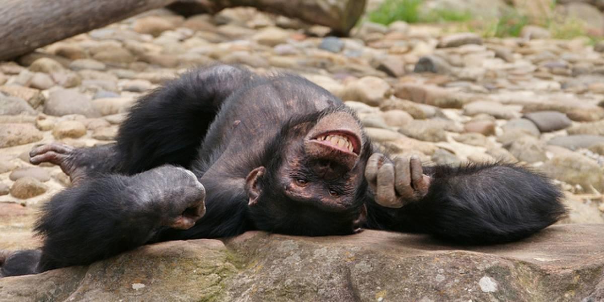 Científicos descubren que a los chimpancés les gusta emborracharse en grupo