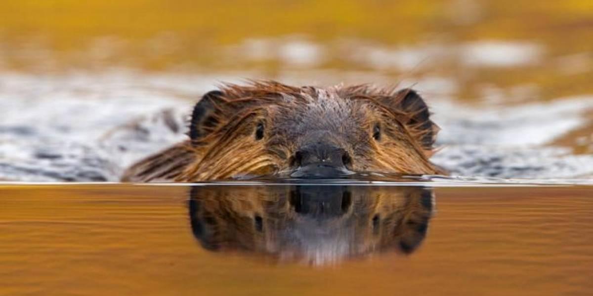 """Ubuntu 18.04 se llamará """"Bionic Beaver"""" en honor a los trabajadores del sistema operativo"""
