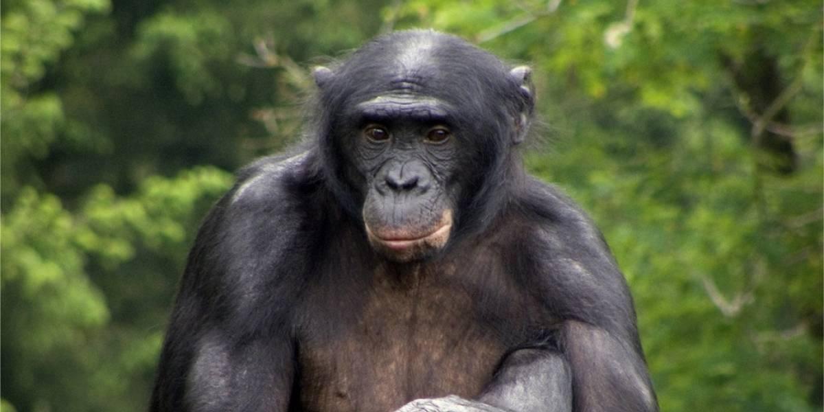 Bebés humanos y bonobos comparten formas de comunicarse