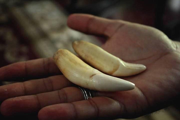 Los traficantes le ponen el precio de acuerdo a los centímetros que mide cada colmillo, oscila desde 150 hasta 400 dólares