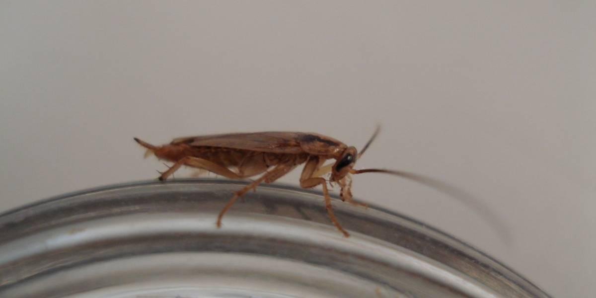 Cucarachas evolucionan para evitar el veneno camuflado con glucosa