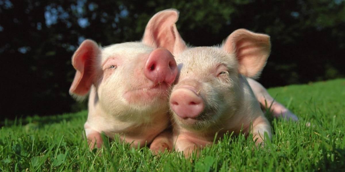 Científicos implantan genes humanos en embriones de cerdos