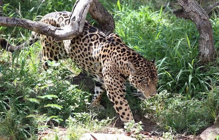 Según el Libro rojo de la fauna silvestre de los vertebrados de Bolivia, el jaguar o Panthera Onca, está en estado de vulnerabilidad. El interés exponencial por su piel, colmillos, garras, bigotes, penes y testículos aviva el interés de los cazadores
