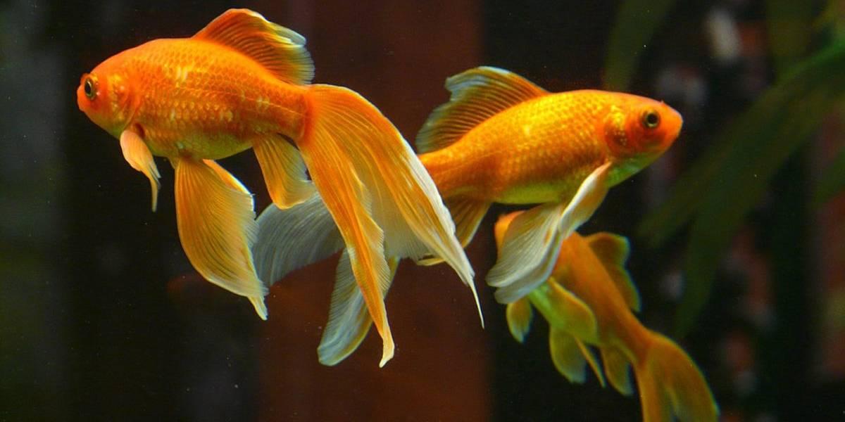 Crean robot que puede ser manejado por un pez