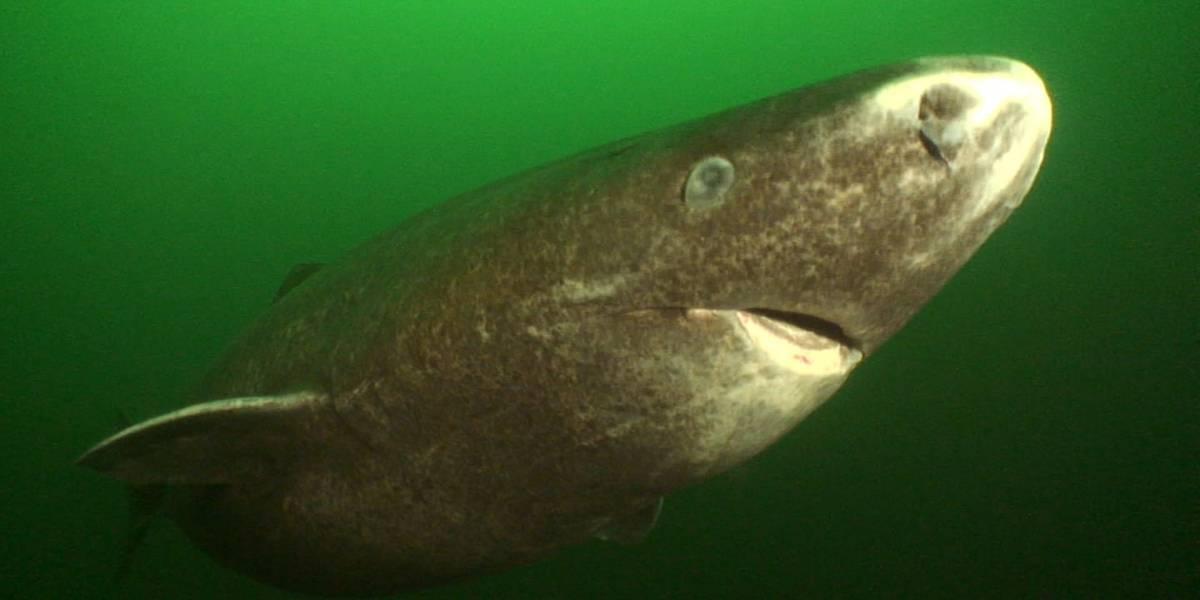 Conoce al tiburón de 400 años de edad