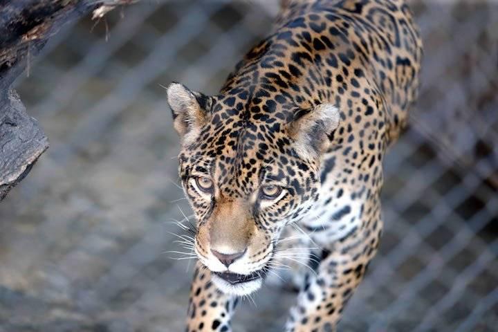 Las redes sociales son un caldo de cultivo que incentiva la matanza de los jaguares en la Amazonía de Bolivia  
