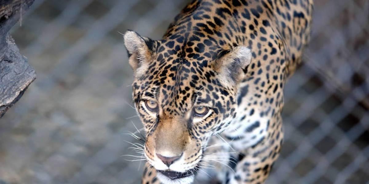 EXCLUSIVO: Mafia le arranca los colmillos al jaguar, el gran felino ...