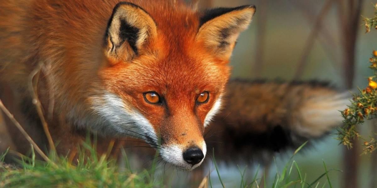 La derrota de Mozilla: tendrá que incluir controles para DRM en Firefox