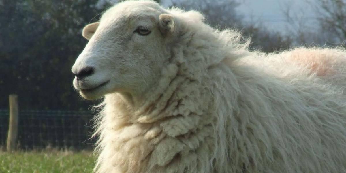 Se adelantan a Google y crean su versión Street View con ovejas