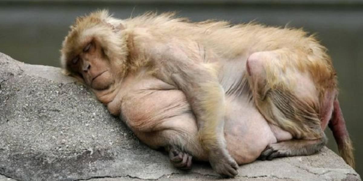 Fármaco dirigido destruye células de grasa en sangre de monos obesos