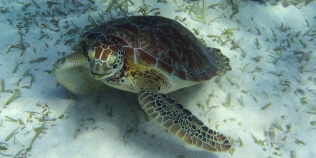 El robot que ayuda a contar tortugas marinas en peligro de extinción