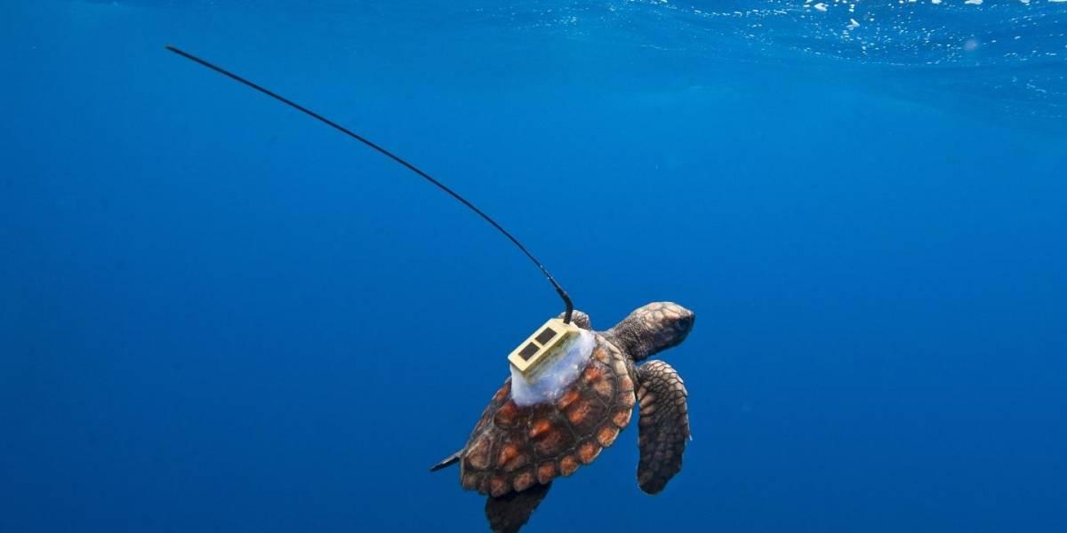 Seguimiento satelital entrega datos claves sobre ruta de tortugas en el Atlántico Sur