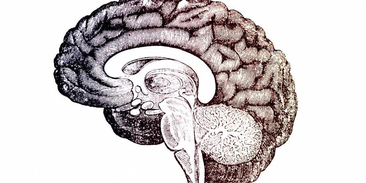 Descubren en Texas un cerebro humano que no tiene pliegues