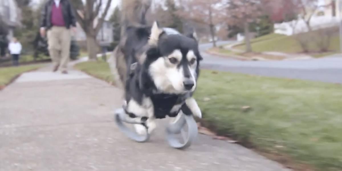 Prótesis impresas en 3D ayudan a perro discapacitado a correr de nuevo