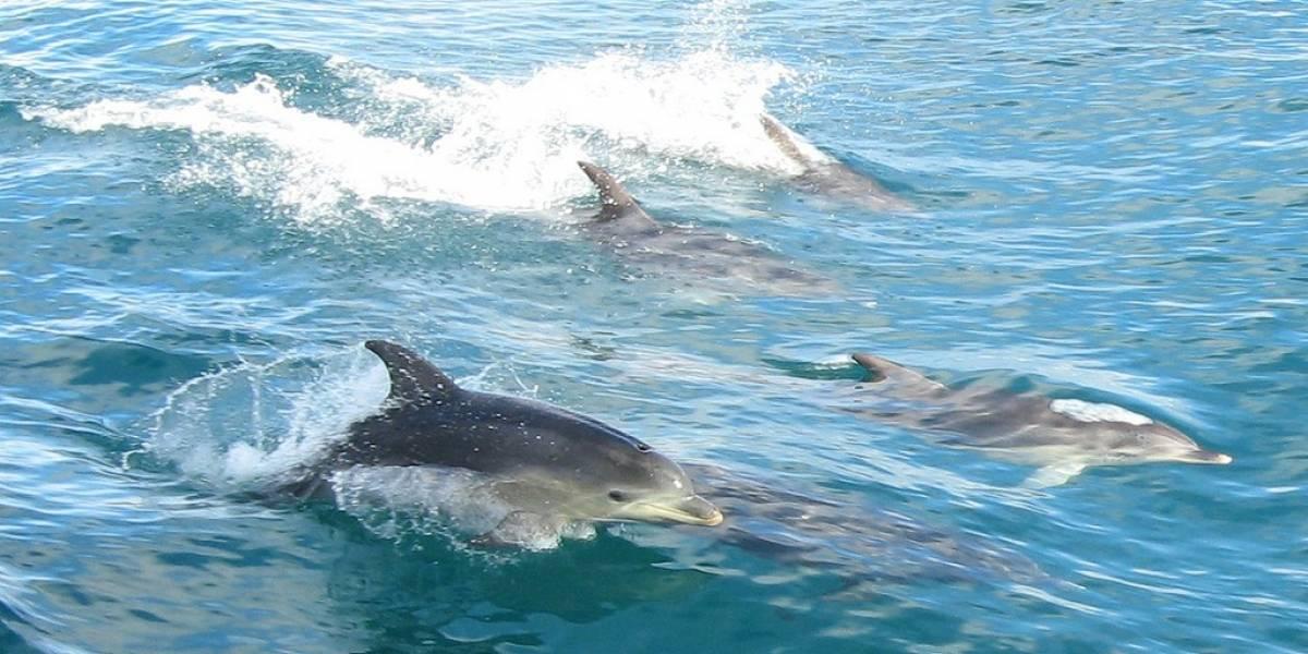 Armada estadounidense reemplazará con robots a delfines que detectan minas submarinas