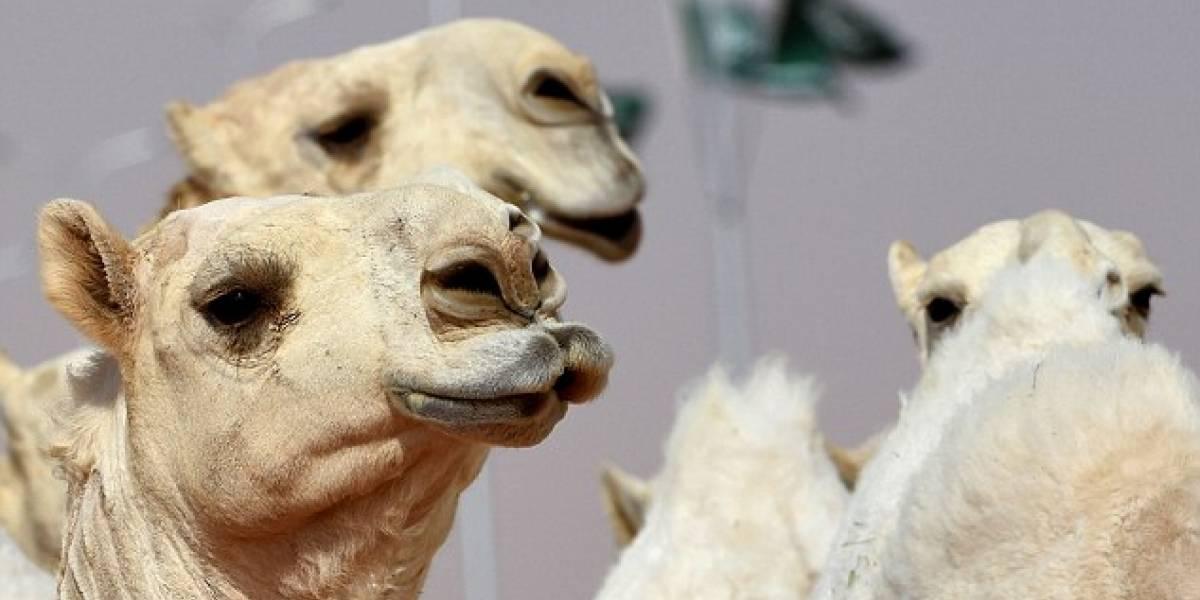Escándalo de proporciones en Arabia Saudita: doce camellos fueron descalificados de concurso de belleza por usar bótox
