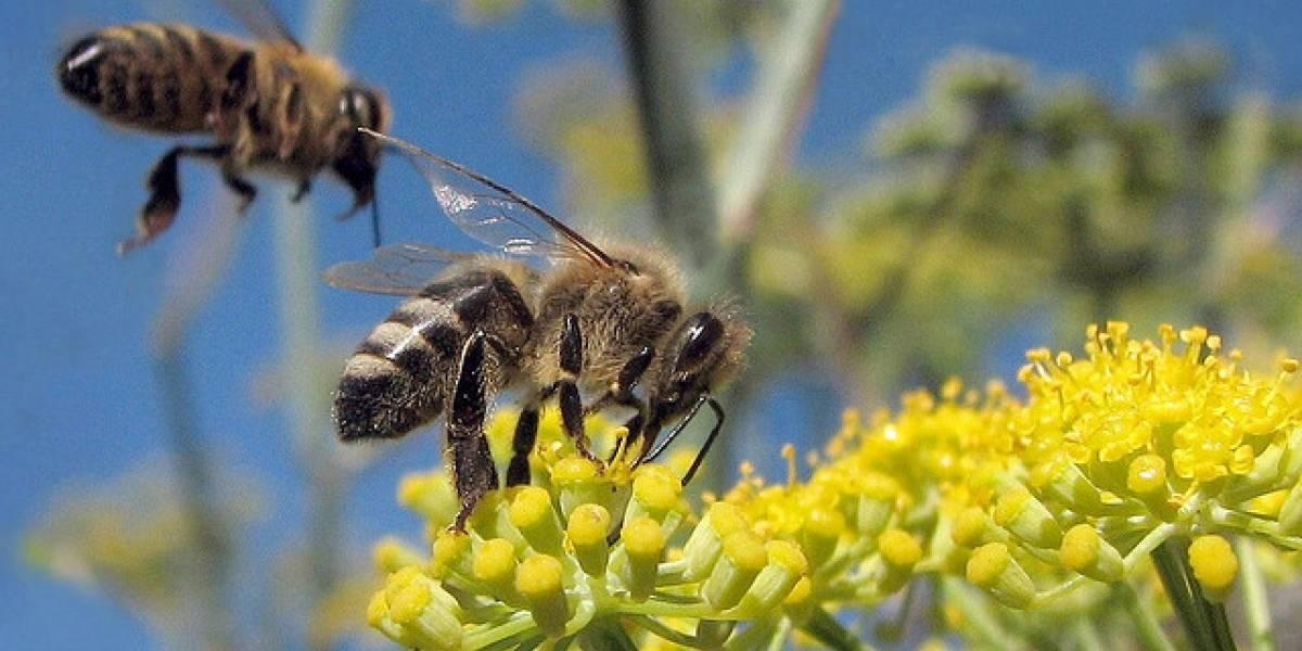 Dilucidado el enigma de la muerte masiva de las abejas