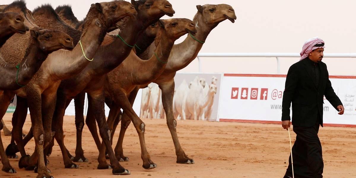 Camelos são expulsos de concurso árabe por uso de botox