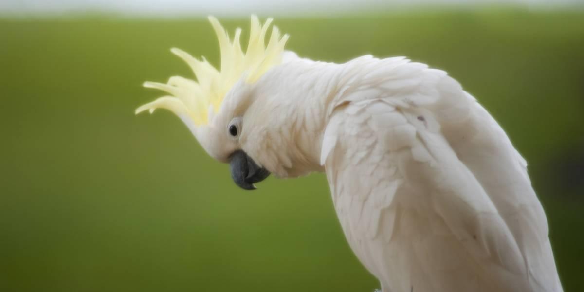 Aves cacatúas que atacan cables han destrozado la banda ancha australiana