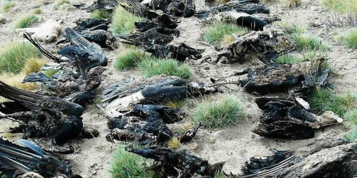 Un hecho sin precedentes: andinistas argentinos encontraron 34 cóndores muertos