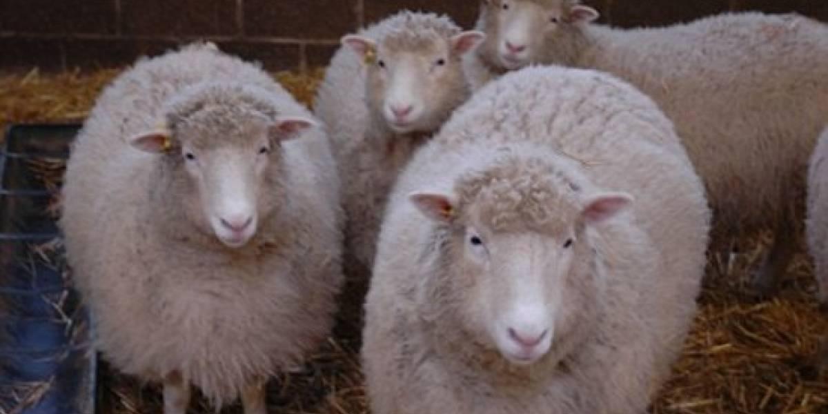 Oveja Dolly vuelve de la muerte con cuatro clones
