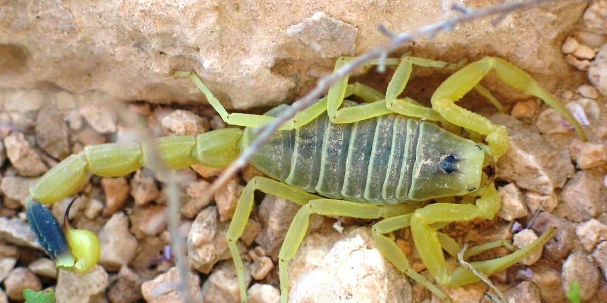 Ensayan en humanos una toxina del veneno de escorpión que ayuda a destruir tumores
