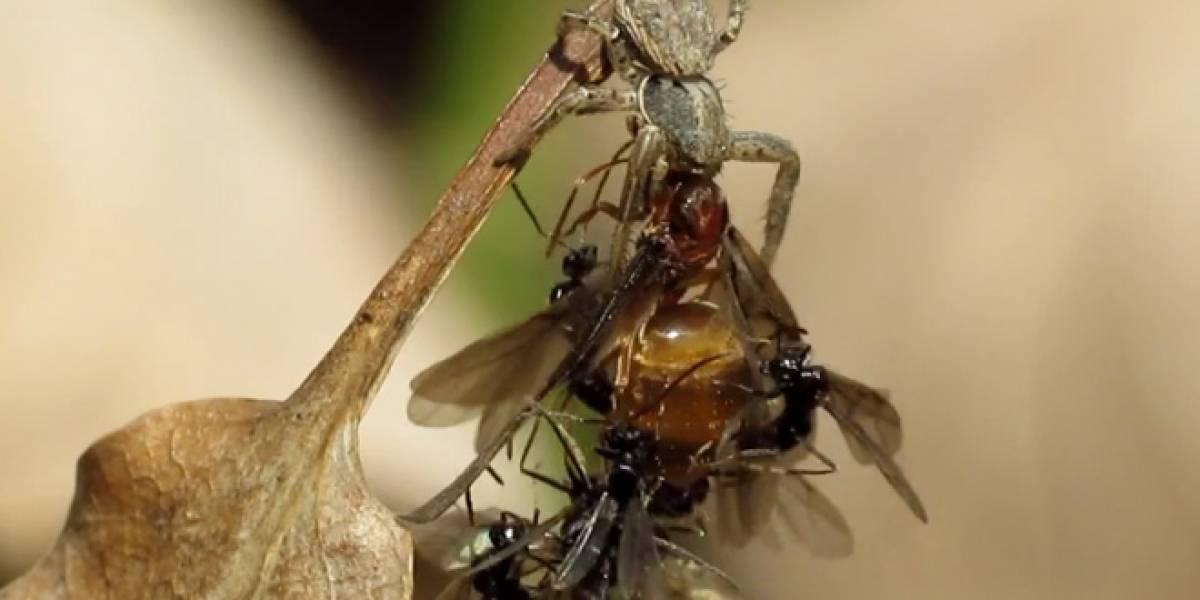 WTF?: Hormigas buscan aparearse con su reina moribunda