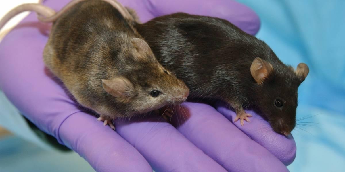Científicos logran clonar un ratón desde una simple gota de sangre