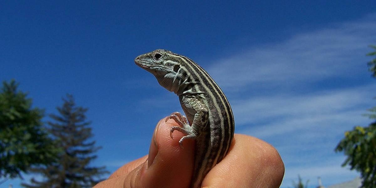 Científicos crean especie de lagartijas únicamente femeninas en laboratorio