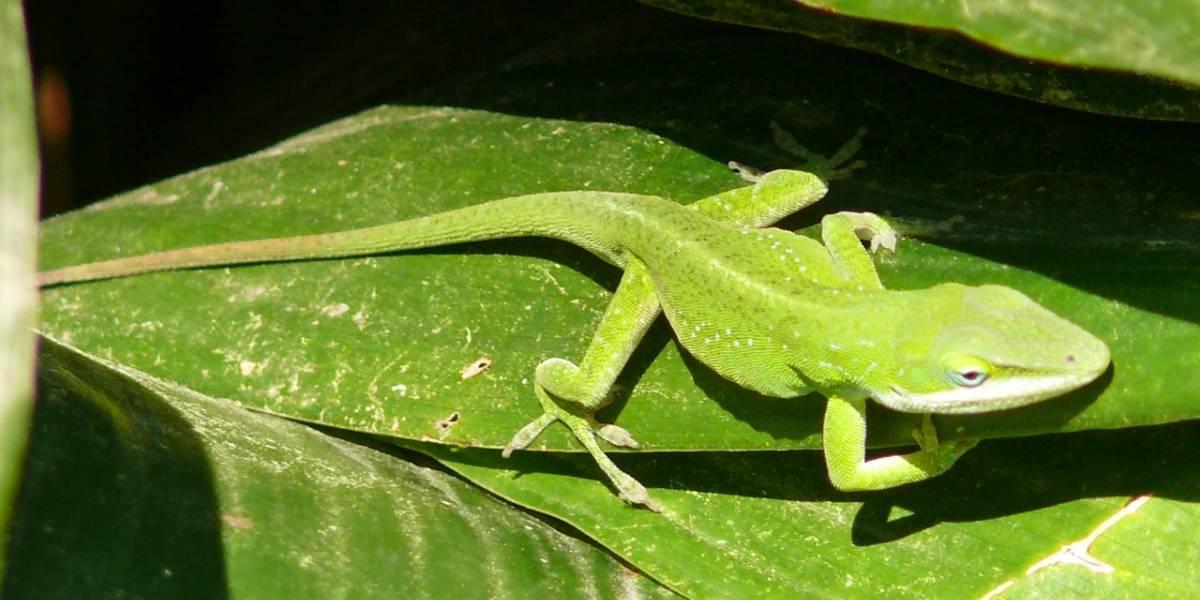 Científicos podrían regenerar extremidades en humanos confiando en la genética de los lagartos