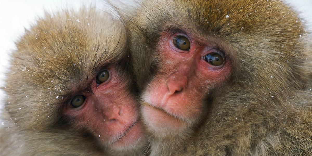 Los monos que viven junto a Fukushima tienen menos glóbulos rojos