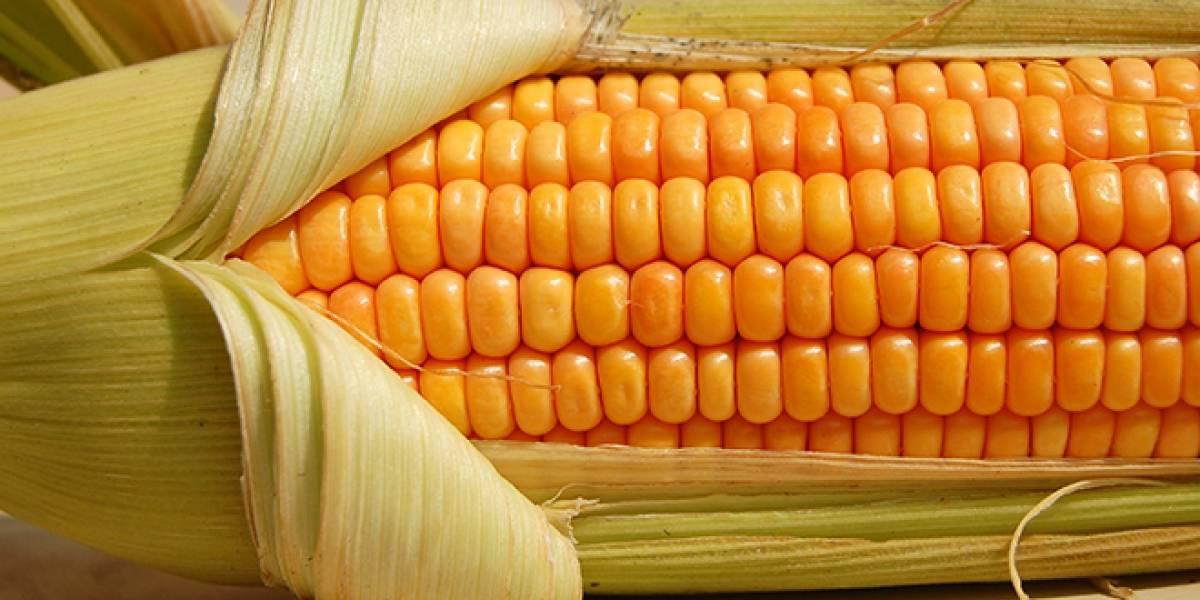 México: Científicos quieren frenar siembra de maíz transgénico