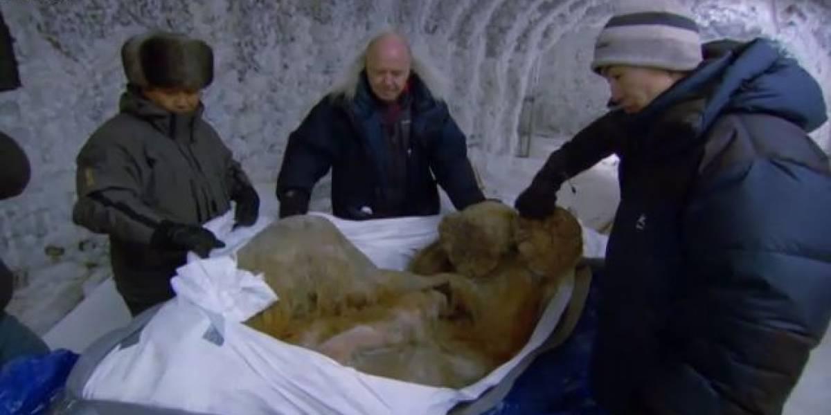 Rusia: Encuentran un mamut de 10 mil años en perfecto estado de conservación