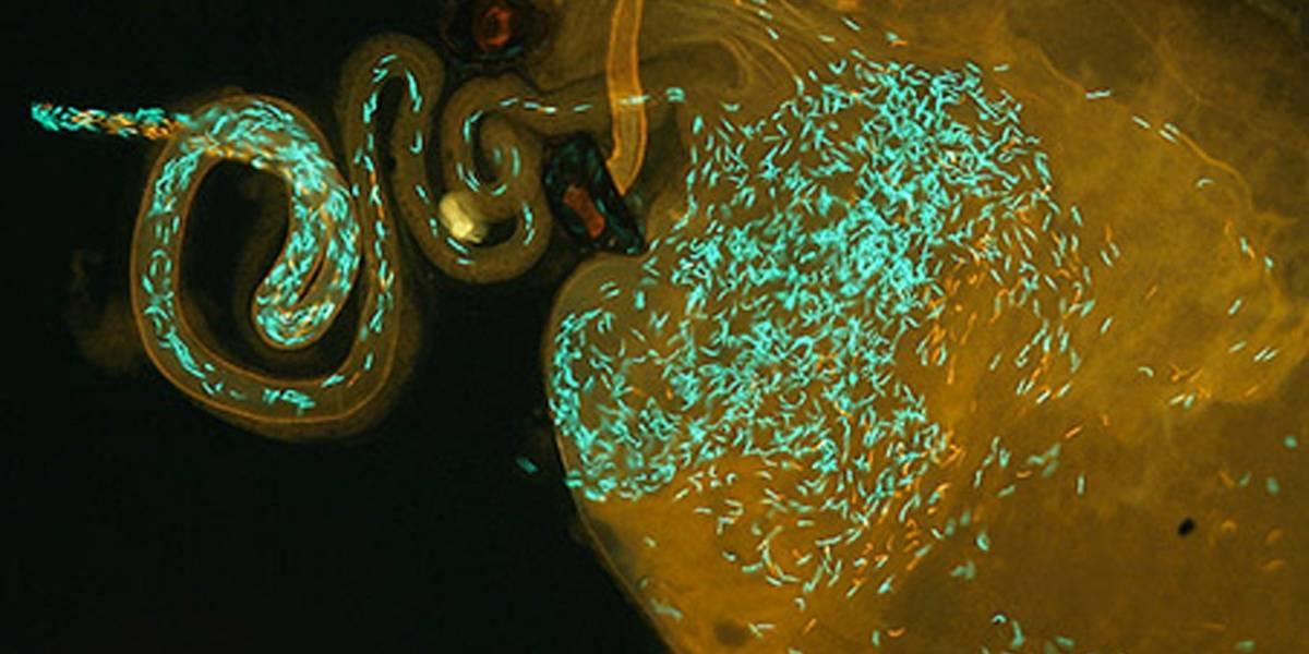 Espermatozoides que brillan en la oscuridad revelan misterios de la reproducción sexual