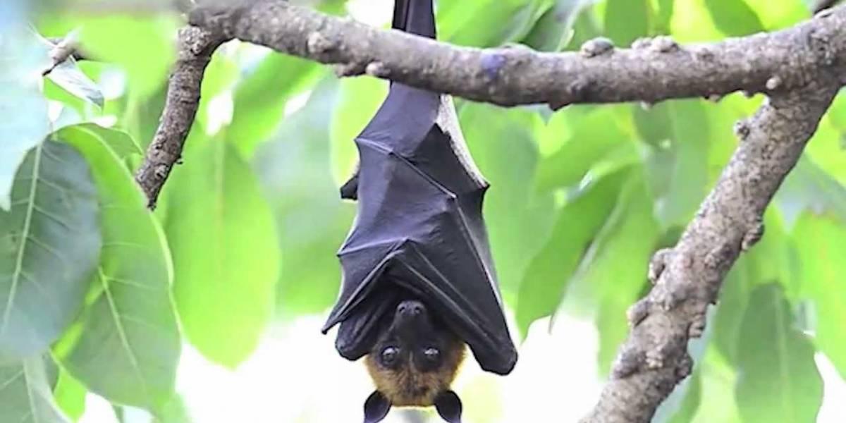 La epidemia del ébola comenzó con un árbol hueco, un niño y unos murciélagos