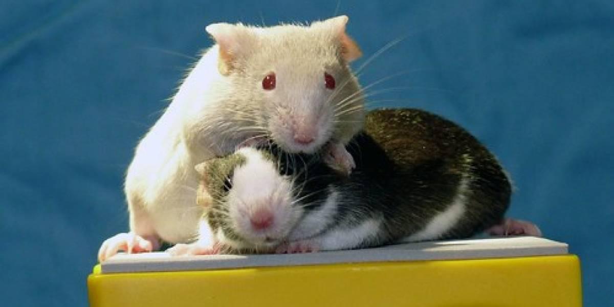 Ratones infértiles deben volver a los anticonceptivos tras tratamiento con células madre