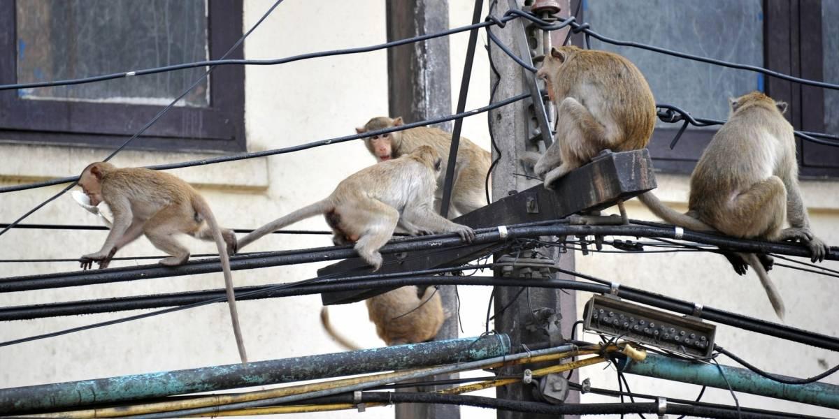 Monos se comen cables de fibra óptica en India