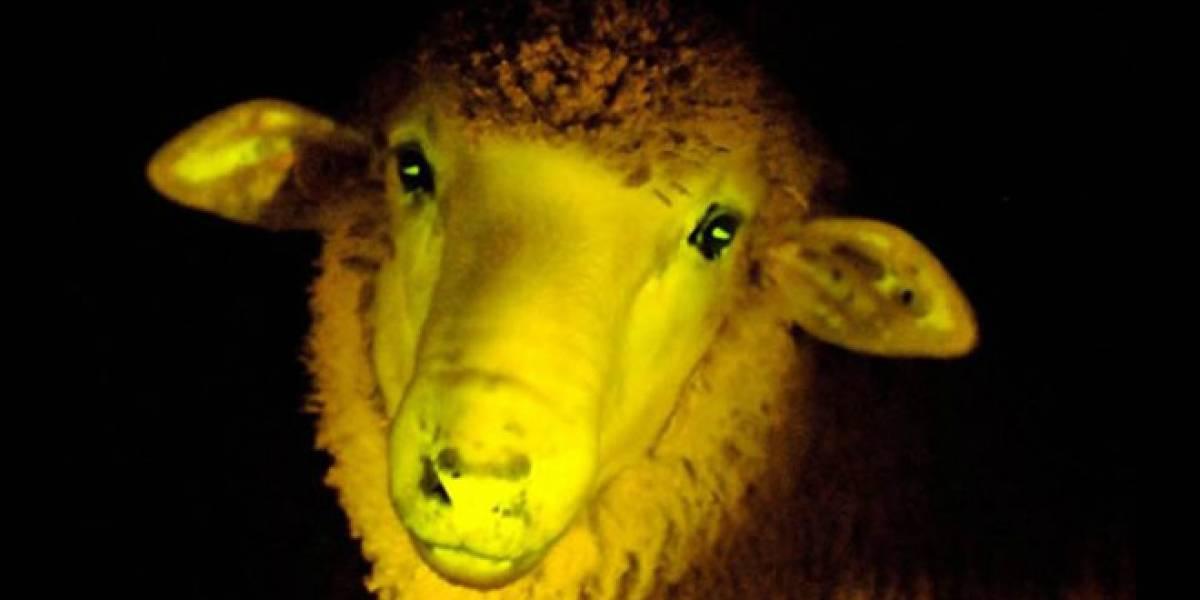Científicos uruguayos crean ovejas que brillan en la oscuridad