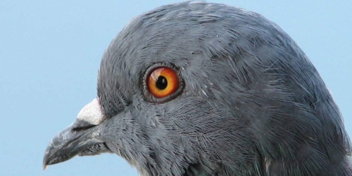 El cerebro de las palomas tendría su propio GPS interno