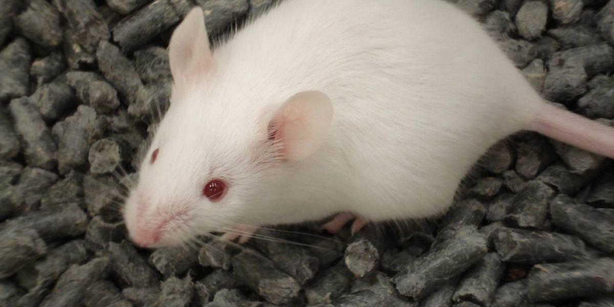 Científicos crean ratas que detectan la luz infrarroja