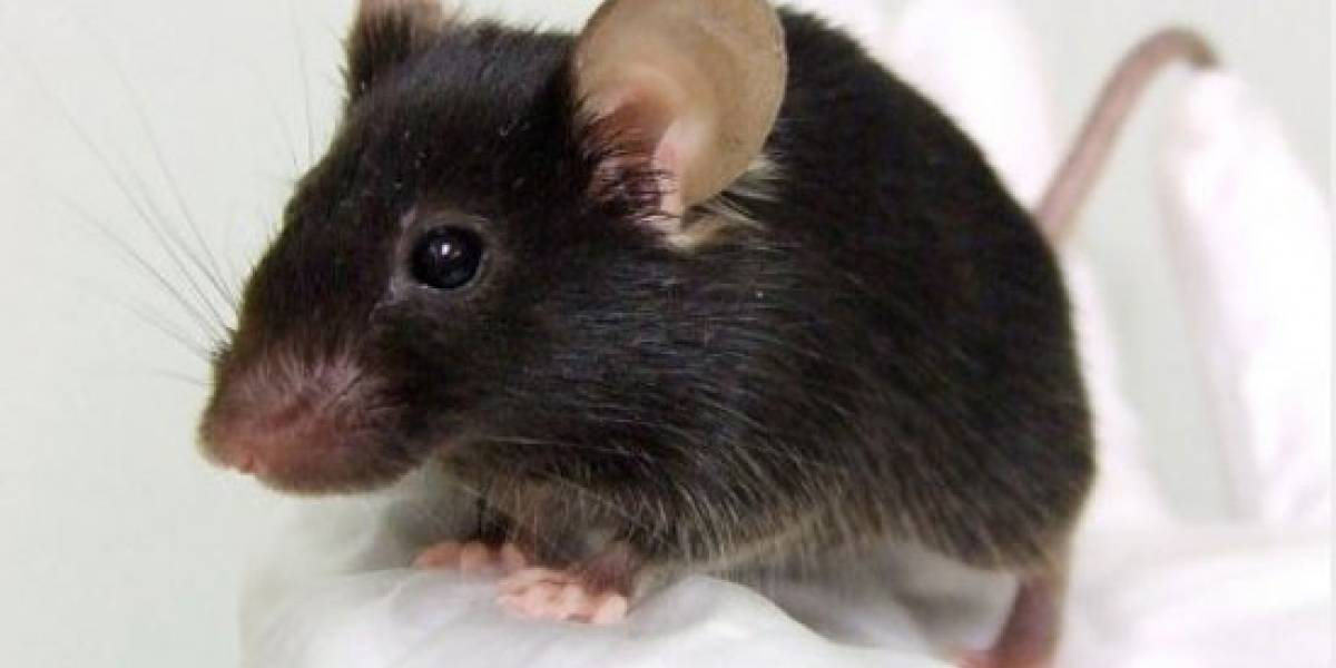 Japoneses crean genéticamente a un ratón que canta