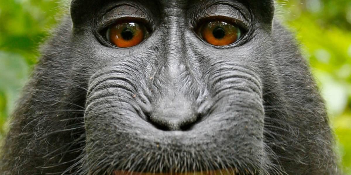Una selfie tomada por un mono mete en problemas legales a Wikimedia