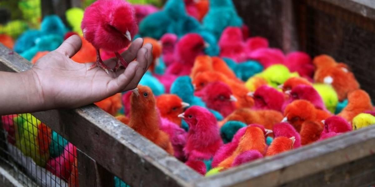 Pintan pollos de colores al estilo de Angry Birds