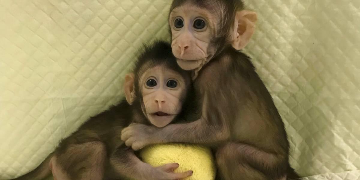 Clonan exitosamente a los primeros monos en China ¿seguirán los seres humanos?