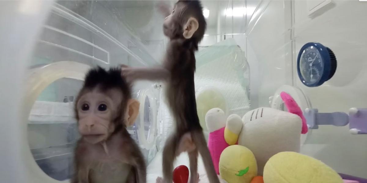 Científicos chinos logran clonar monos: ¿viene el turno de los humanos?