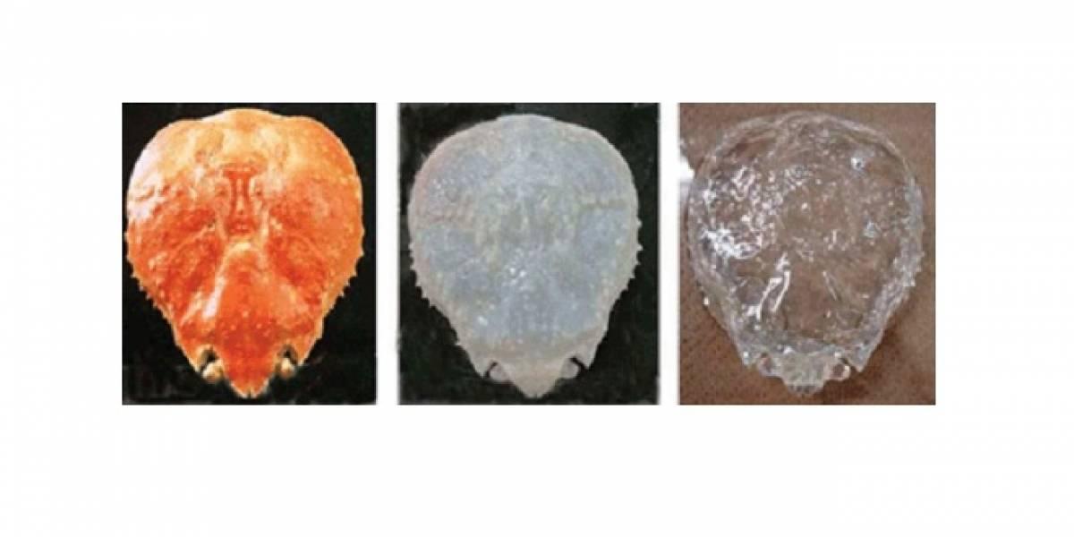 Científicos japoneses hacen transparente a un cangrejo
