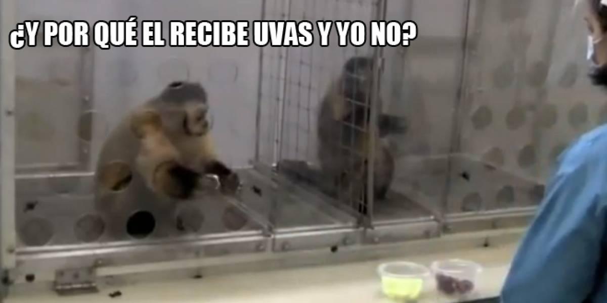 Video: Los monos también se enojan con una paga desigual
