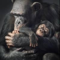 chimpanzeerumaandbabycopy-e3baa3f9680eab63fbd571aa9a7c59ff.jpg