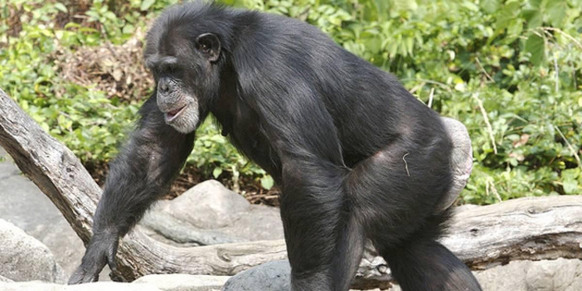 Estados Unidos deja el estudio de chimpancés